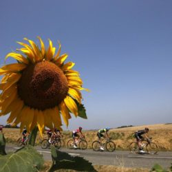 A group of riders cycle past a sunflowers field during the 198.5-km (123.3 miles) 13th stage of the 102nd Tour de France cycling race from Muret to Rodez, France, July 17, 2015.   REUTERS/Benoit Tessier