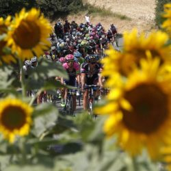 A group of riders cycle past a sunflowers field during the 198.5-km (123.3 miles) 13th stage of the 102nd Tour de France cycling race from Muret to Rodez, France, July 17, 2015.    REUTERS/Eric Gaillard