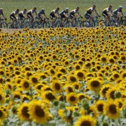 A group of riders cycle past a sunflowers field during the 198.5-km (123.3 miles) 13th stage of the 102nd Tour de France cycling race from Muret to Rodez, France, July 17, 2015. REUTERS/Eric Gaillard TPX IMAGES OF THE DAY