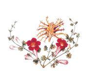 Arpagofito procumbens
