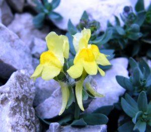Linaria tonzigii al sentiero dei fiori